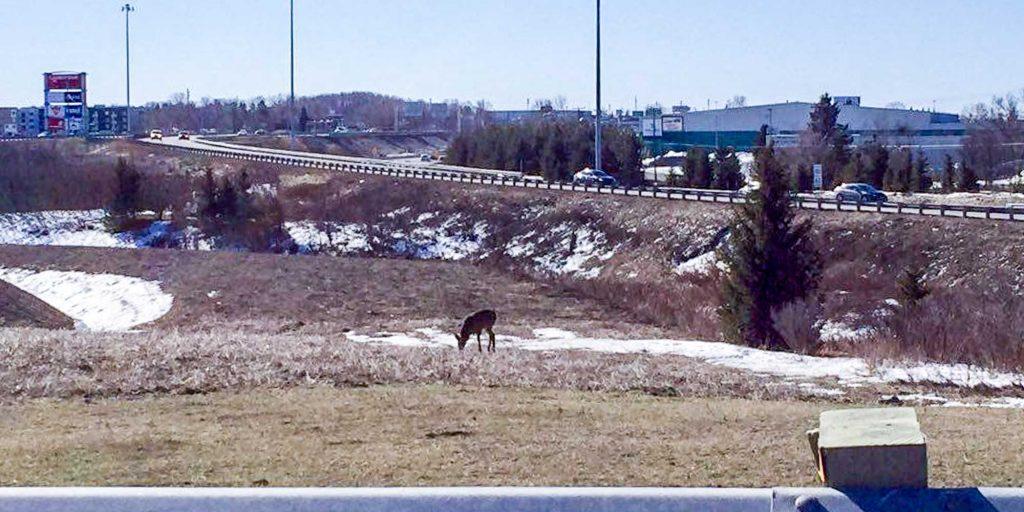 Un chevreuil ou un animal ayant une forme similaire profite de l'herbe qu'il peut trouver près du boulevard de La Salette et de l'autoroute 15, le dimanche 20 mars 2016.